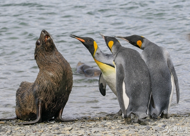 The Comedy Wildlife Photography Awards 2018 Amy Kennedy Seattle United States Phone: 508-237-6620 Email: amyskennedy@gmail.com Title: Bullies! Caption: King Penguins gang up on a fur seal Description: These King penguins aren't going to tolerate a little fur seal in their midst. Animal: King Penguin, Antarctic Fur Seal Location of shot: South Georgia