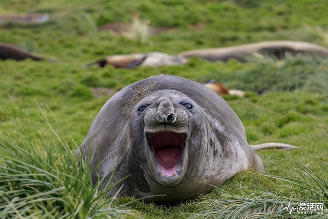 The Comedy Wildlife Photography Awards 2018 Amy Kennedy Seattle United States Phone: 508-237-6620 Email: amyskennedy@gmail.com Title: Guffaw! Caption: This elephant seal has a great sense of humor. Description: Elephant seal on South Georgia...not quite sure what I said. Animal: Elephant Seal Location of shot: South Georgia