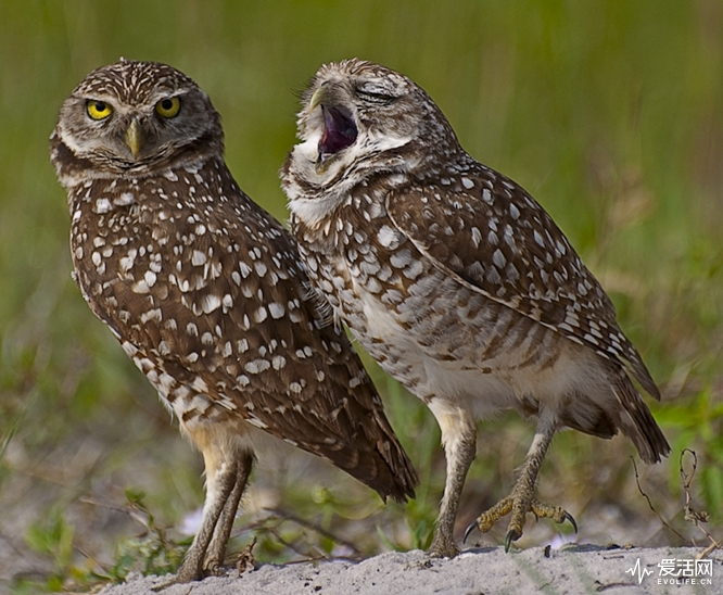 The Comedy Wildlife Photography Awards 2018 Danielle D'Ermo Simsbury United States Phone: 8606510595 Email: ddermo1@aol.com Title: The Yawn Caption: Burrowing Owl yawning Description: Burrowing Owl Yawning... Animal: Burrowing Owls Location of shot: Cape Coral , Fla