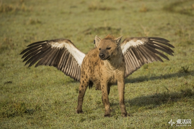 The Comedy Wildlife Photography Awards 2018 Kevin Rooney Cheltenham United Kingdom Phone: 07947395802 Email: kevrooney2003@yahoo.co.uk Title: Flying Hyena Caption: My mum thinks i'm a little Angel Description: One of the Hyenas at a Lion kill positioned itself just in front of a vulture to give the impression it had wings Animal: Hyena Location of shot: Olare Motorogi Conservancy in Kenya