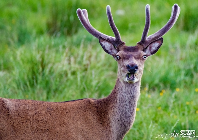 "The Comedy Wildlife Photography Awards 2018 Robert Adamson Aviemore United Kingdom Phone: 07742335686 Email: T777rab@msn.com Title: majestic stag?! Caption: ""its my selfie face!"" Description: I tried to photograph a highland stag for years when finally, one was stood right in front of me, I got close as possible then pressed the shutter. I went home feeling a sense of achievement.... then I checked it on my pc. .... maybe next time! Animal: stag Location of shot: Laggan, Scottish highlands"