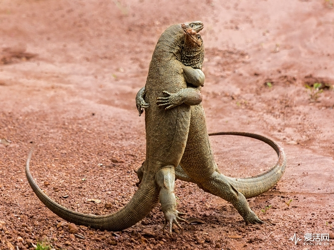 The Comedy Wildlife Photography Awards 2018 Sergey Savvi Saint-Petersburg Russian Federation Phone: +79052665780 Email: wildsapiens@gmail.com Title: Martian Tango Caption: Martian Tango Description: Two lizards were wrestling on the red ground. Animal: Monitor lizards Location of shot: Wilpattu NP, Sri Lanka