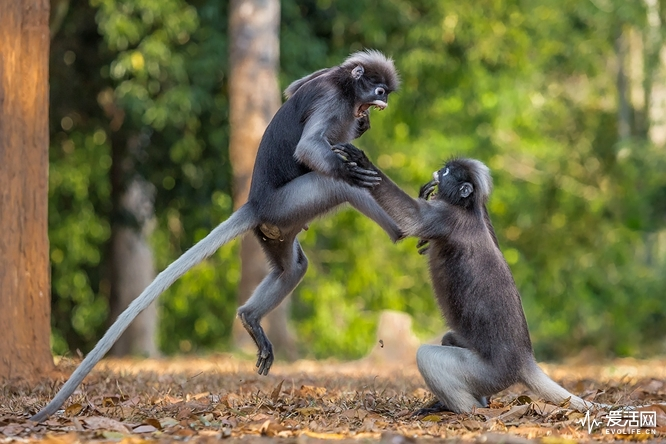 "The Comedy Wildlife Photography Awards 2018 Sergey Savvi Saint-Petersburg Russian Federation Phone: +79052665780 Email: wildsapiens@gmail.com Title: This is Sparta! Caption: This is Sparta! Description: The funny fight of langurs reminds me the epic moment from the movie ""300"" (Spartans). Animal: spectacled langur Location of shot: Kaeng Krachan NP, Thailand"