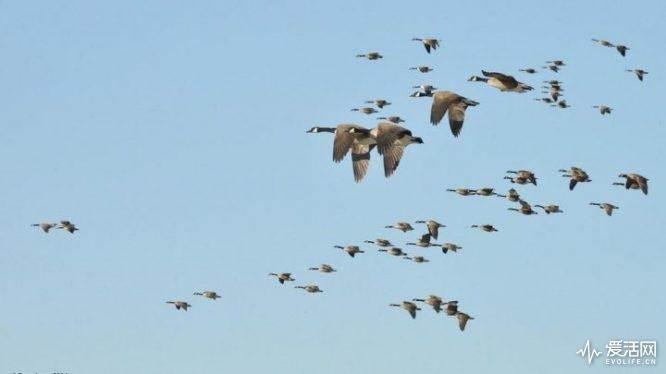 geese-v-720x405